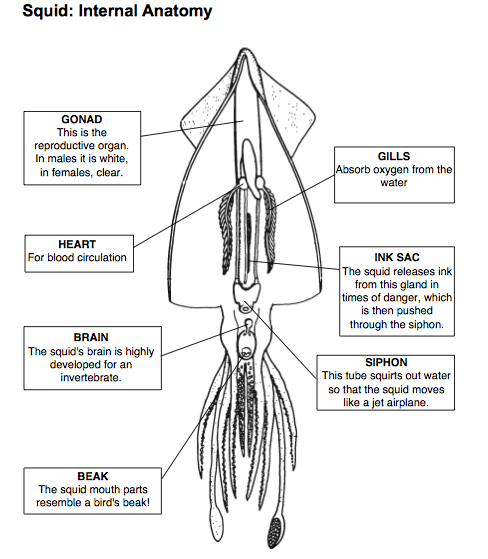 squid dissection prelab web assignment ms alyson walker 4th grade rh awalkerasuprep weebly com